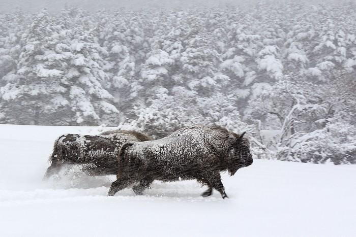 image bisons film les saisons jacques perrin jacques cluzaud
