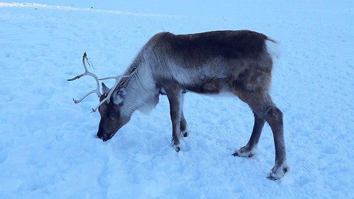image parc polaire montagnes du jura renne