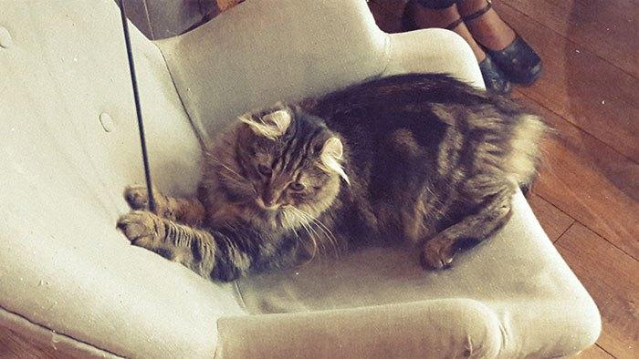 image charline american curl gentlecat lyon bar à chats