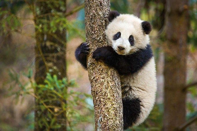 image panda mei mei nés en chine disney nature
