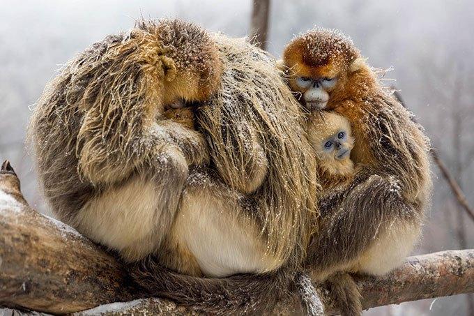 image singes dorés nés en chine disney nature
