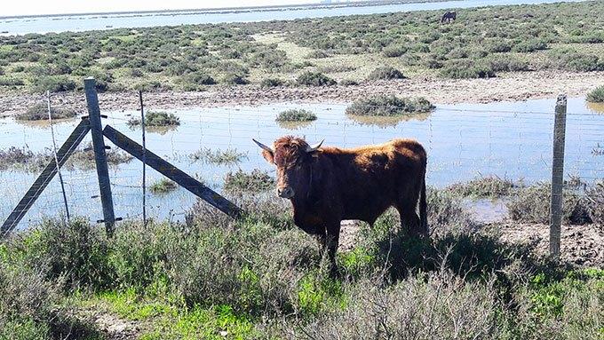 image marais vache parc naturel donana almonte andalousie espagne